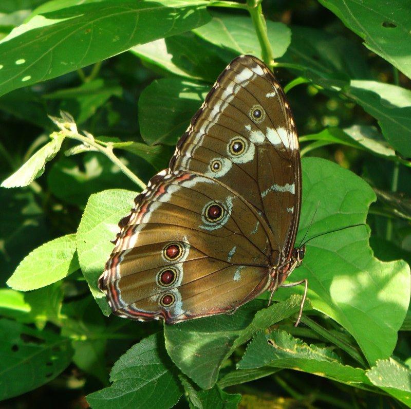 Morpho Butterfly, Santa Cruz Botanic Garden