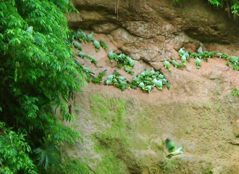 Napo River Parrot Lick