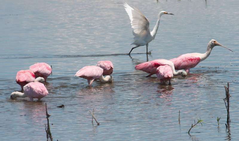Roseate Spoonbills and a Snowy Egret