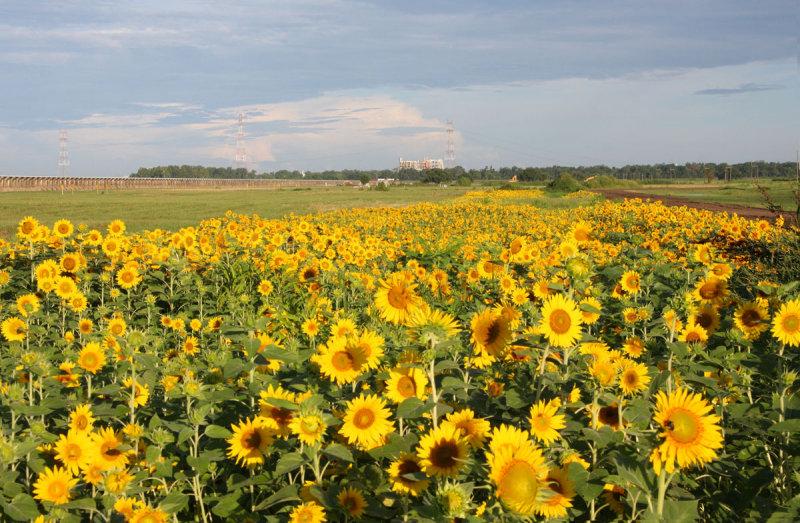 Bonnet Carre Spillway Sunflowers Shortly After Sunrise