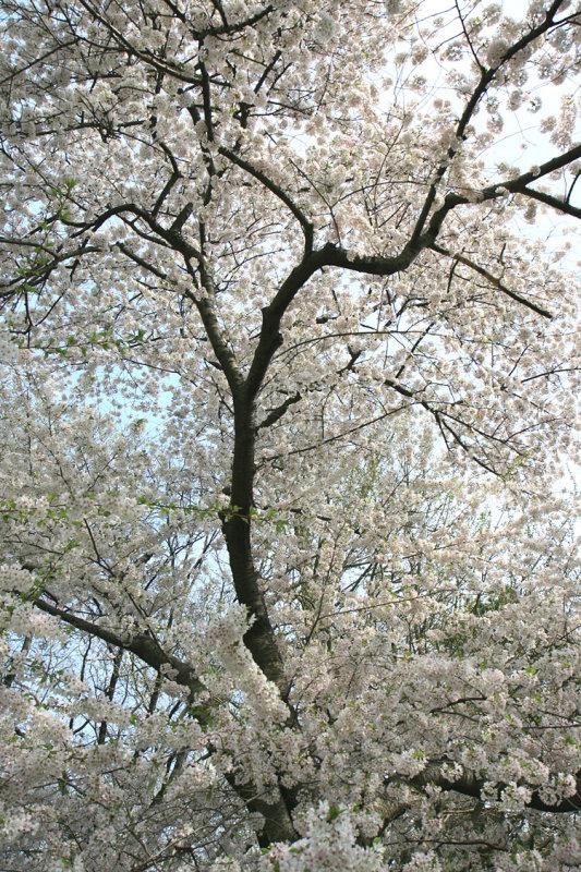 New-York Botanical Garden - White Cherry Tree