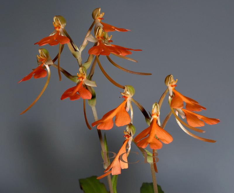 Habenaria rhodocheila, flowers 2.5-3 cm