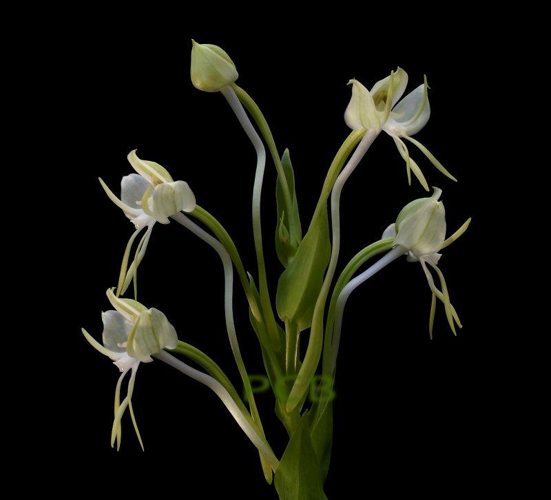 Habenaria bractescens,  Brasil, flower 2.5-3 cm.   spur 15 cm