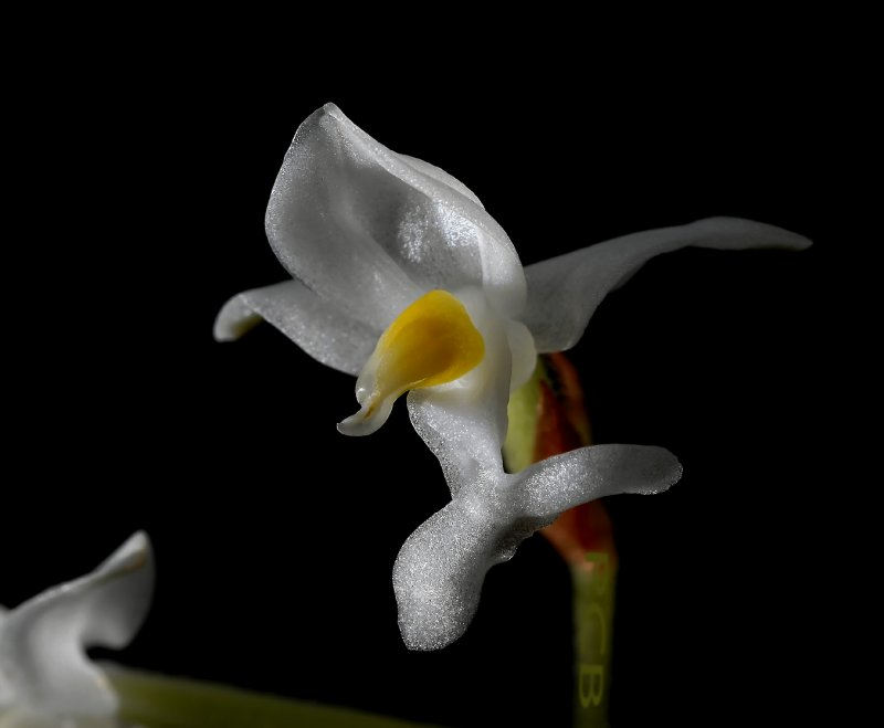 Ludisia discolor, flowers 1 cm, terestrial orchid
