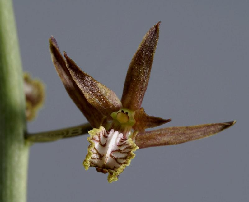 Eulophia andamanense