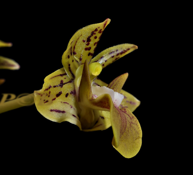Dendrobium bifalce , port Moresby  PNG