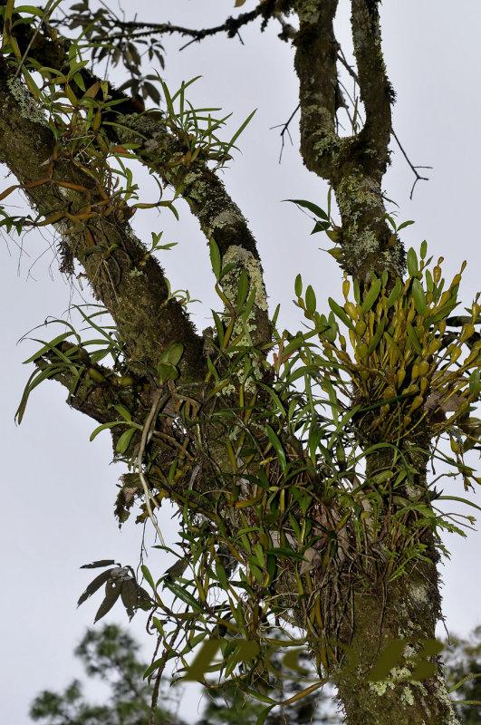 Dendrobium findlayanum (right) and Otochilus fuscus on Lithocarpus truncatus (oak tree)