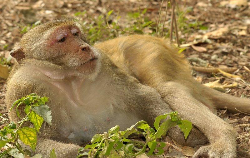 Long-tailed macaque, Macaca fasciularis
