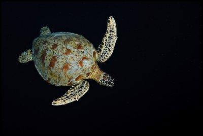 Turtle into the black