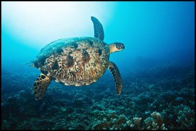 Turtle Moso