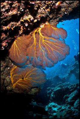 Moso Gorgonian 1