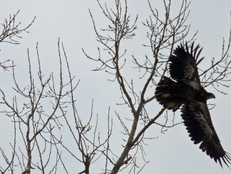Immature bald eagle with colorful markings