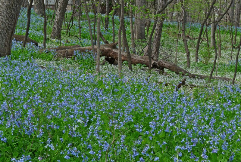 Bluebells in woods