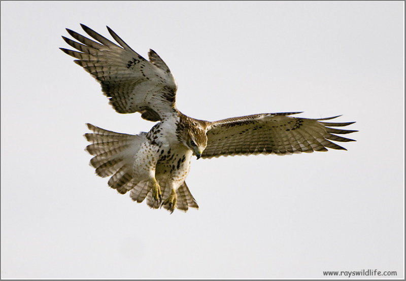 Red-tailed Hawk  213