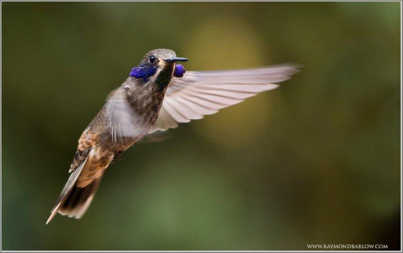 Brown Violetear Hummingbird in Flight