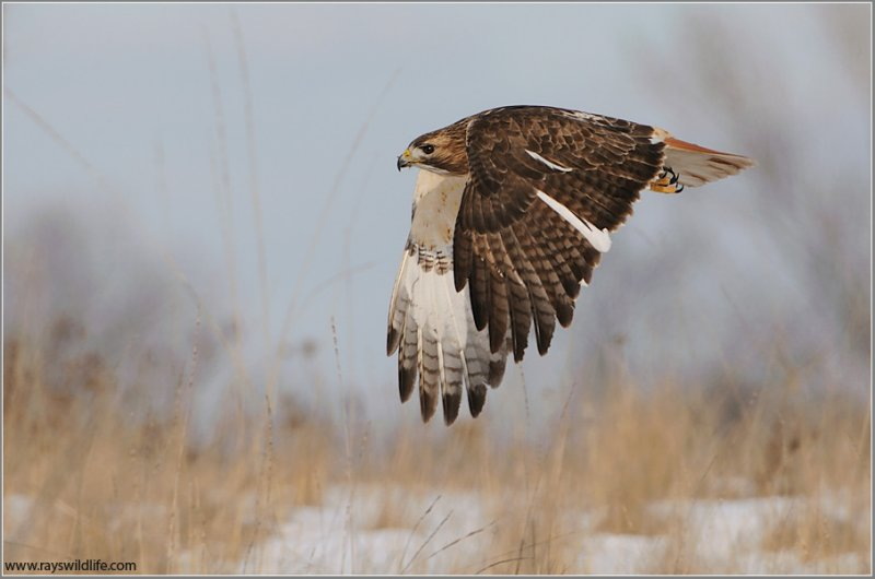 Red-tailed Hawk in Flight 159