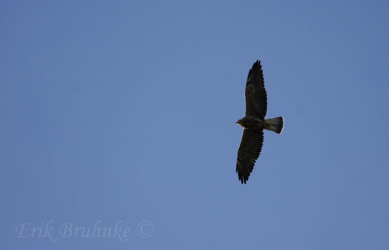 Swainsons Hawk, banded by Nova Mackentley!