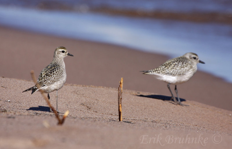 American Golden Plover (left) and Black-bellied Plover (right)