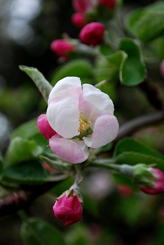 Pink Flowers, Yellow Apples