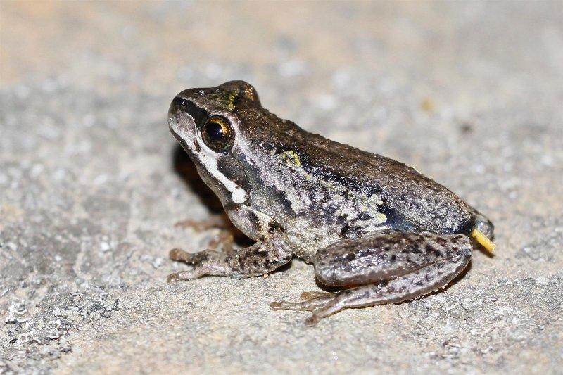 Ewings Tree Frog