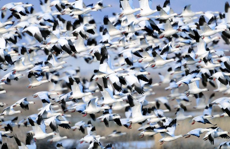 Lesser Snow & Rosss Geese