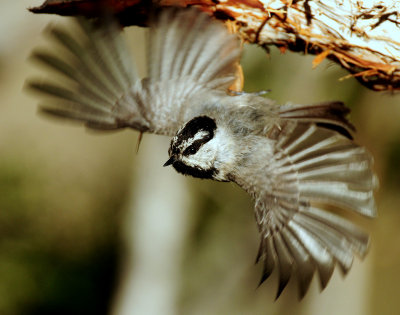 Chickadee, Mountain