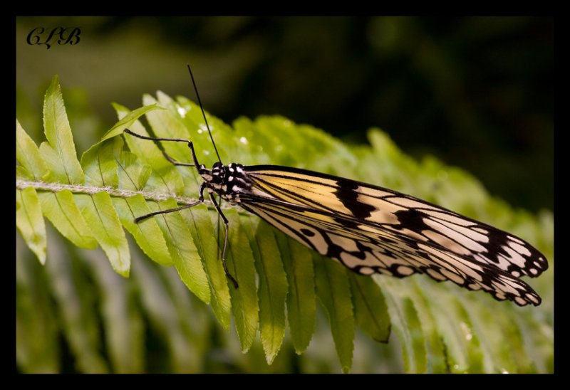Paper Kite aka Rice Paper Butterfly
