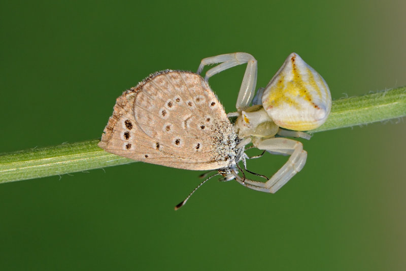 <h5>Crab Spider and Blue - סרטביש וכחליל</h5>