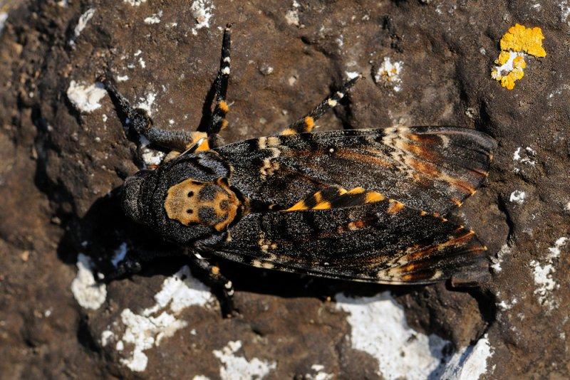 <h5>Deaths Head Hawk-moth - ר. גולגולת המת</h5>