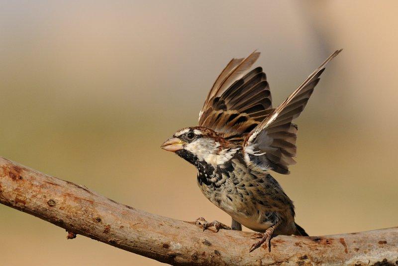 <h5>Spanish Sparrow - דרור ספרדי - <i>Passer hispaniolensis<i></h5>