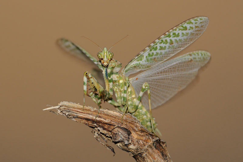 <h5>Mantis - גמל שלמה משובץ</h5>