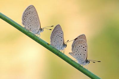 <h5>Grass Blue - כחליל הקוטב - <i>Zizeeria karsandra<i></h5>