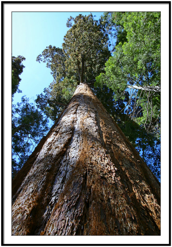 Big Tree In Sequoia National Park