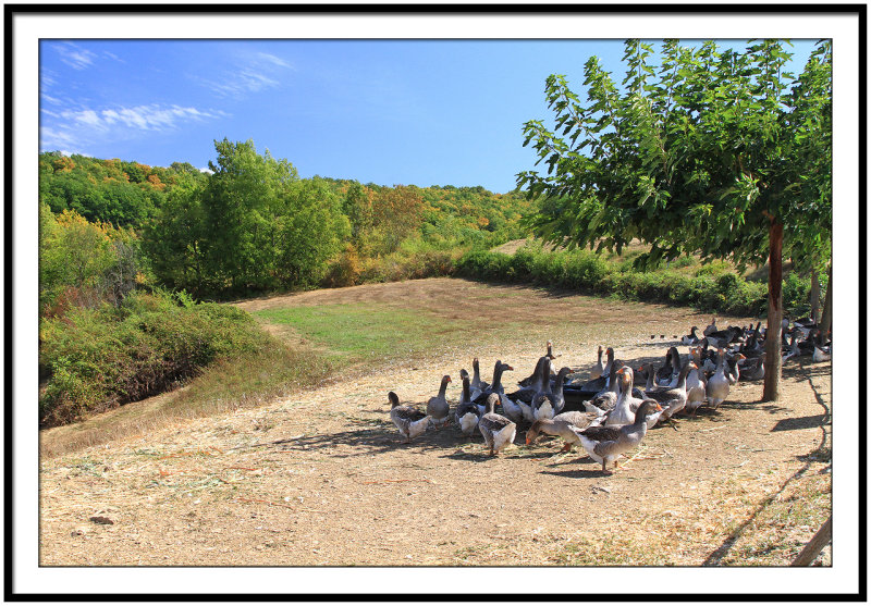 The famous geese of Perigord