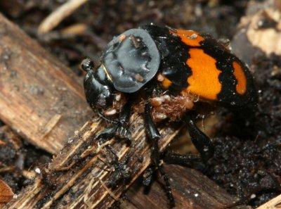 Burying Beetle.sp