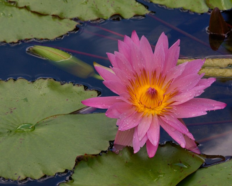 Water Lilly - Old Westbury Gardens