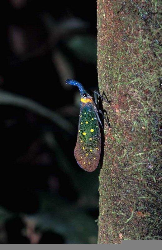 Lantern-bug