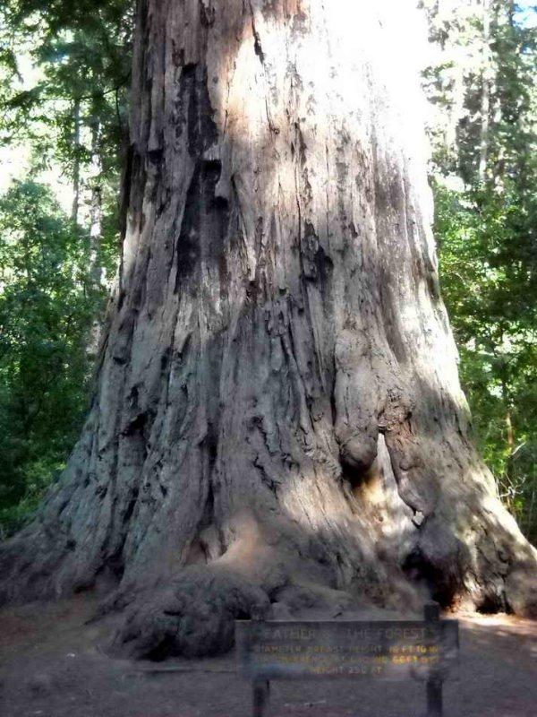 Redwood : le père de la forêt