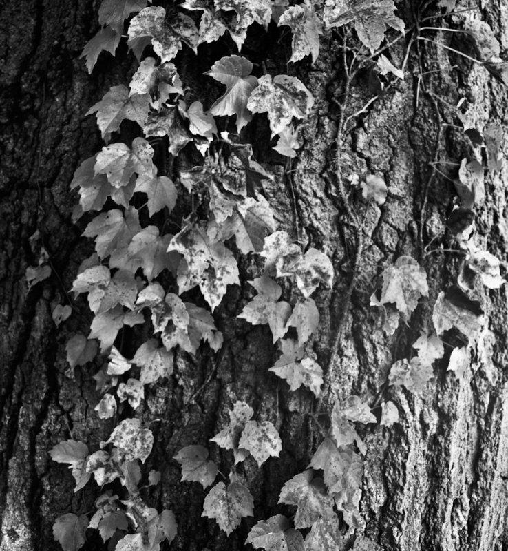 Vines and bark, Rochester, NY, 2009.jpg