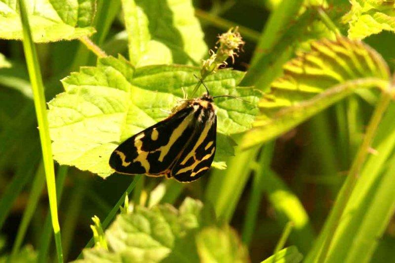 Parasemia plantaginis (mindre igelkottspinnare) Tveta (Öl) 100604 Stefan Lithner
