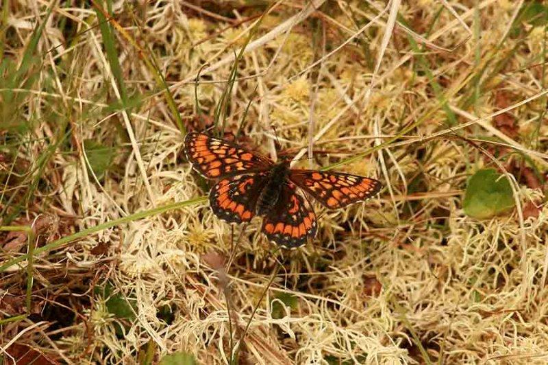 Euphydryas maturna (asknätfjäril) female Munkhyttan (Vstm) 100625 Stefan Lithner