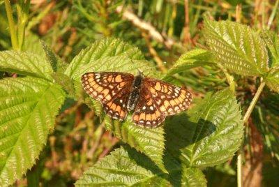 Euphydryas maturna (asknätfjäril) male Munkhyttan (Vstm) 100625 Stefan Lithner