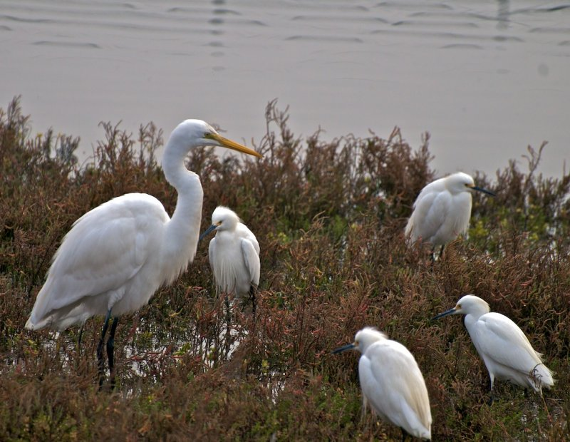 Great Egret with smaller Snowy Egrets
