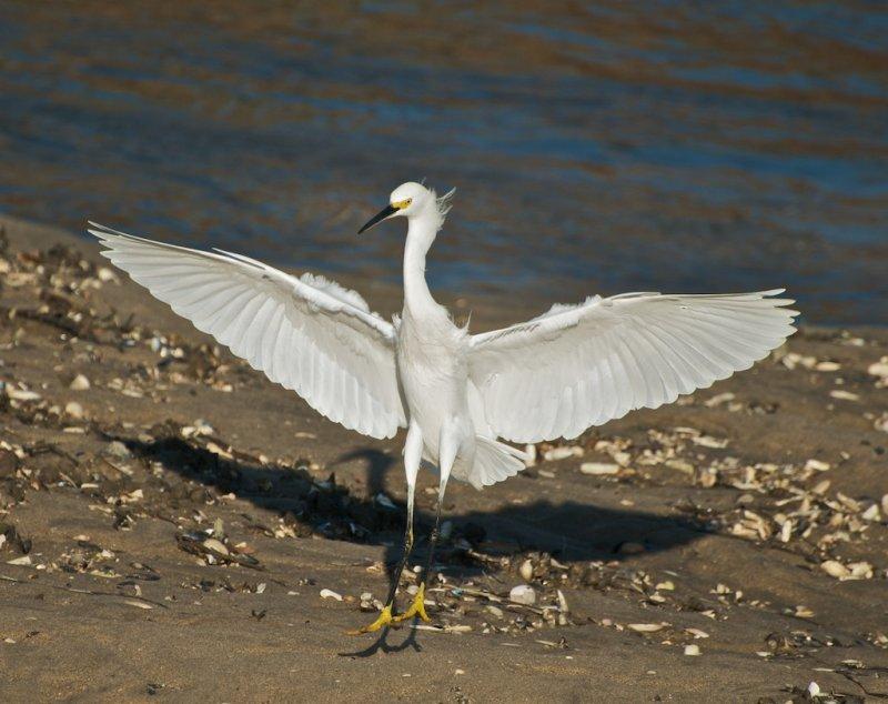 Snow Egret landing (corrected)
