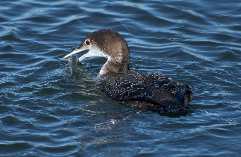 Common Loon w/ catch (in non breeding colors)