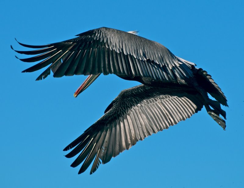 California Brown Pelican (interesting angle)