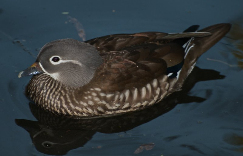 Mandarin Duck (female)
