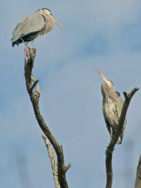 Great Blue Herons in tree