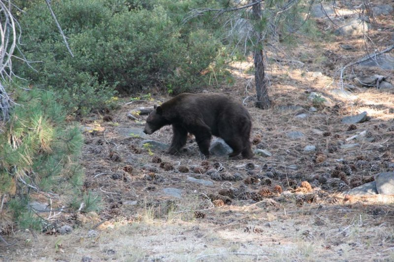 This black bear was beside the road on the way to Tuolumne Meadows.