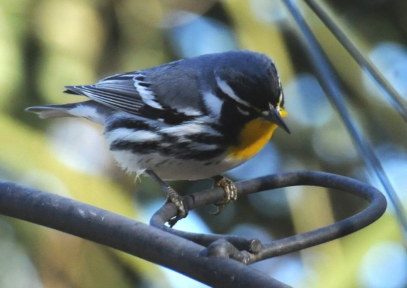 Yellow Throated Warbler or Dendroica dominica